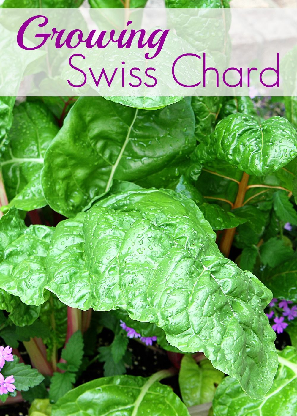 containing my enthusiam for swiss chard plants gardens and