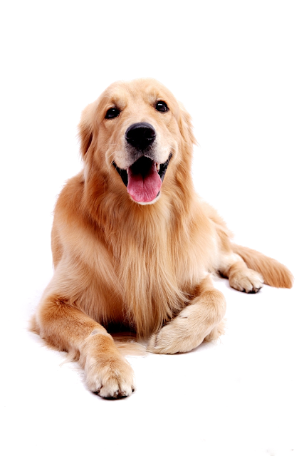 Golden Retriever Pictures By Age Dog Golden Retriever Dogs Golden Retriever Golden Retriever Funny