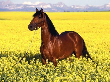 Puro Sangue Lusitano é o cavalo de sela mais antigo do mundo