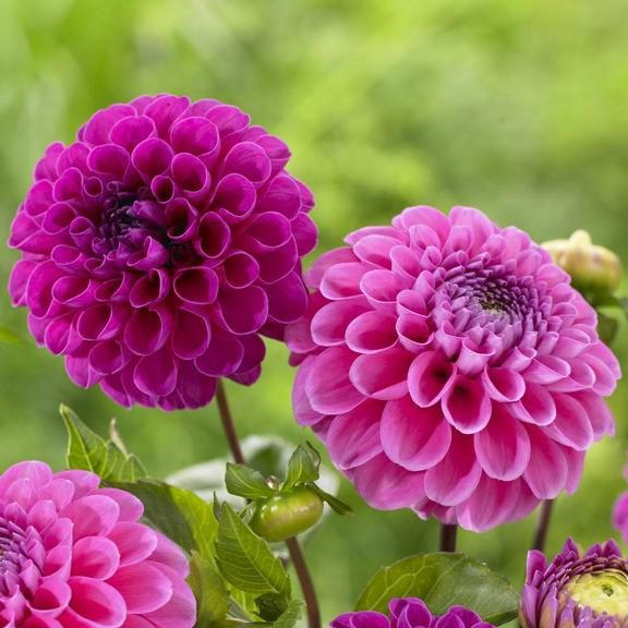 Dahlia franz kafkarocco pompon dahlias are known for their dainty pompon dahlias are known for their dainty perfectly round flower heads this combination of light and dark pink flowers is ideal for gardens and cutting mightylinksfo