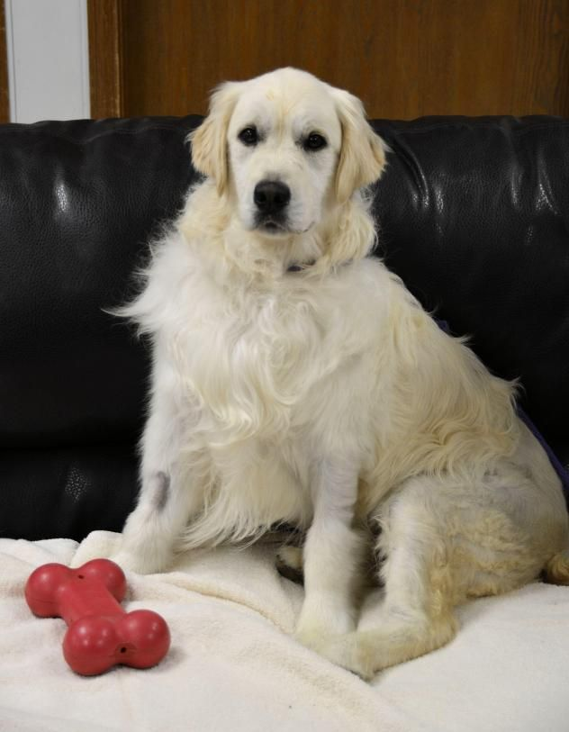 Special Needs Remi Is A Female Golden Retriever Who Was Born 05 11