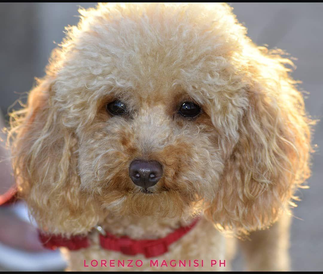 #peluche #barboncino #barboncinotoy  #summer2019🌴 #love #lovepets #dolcezzainfinita  #nikond5300  #cagnolino #musetto #dog #portraitdog  #photooftheday #lifestyle # #dogsofinstagram  #instapet #pelosetti #loveanimals  #cagnolini #nofilter # #portraitphotography #portrait_mood #portrait_star #poodle #whitepoodle #poodletoy #sunrise🌅 #baricity #naturephotography #igbari