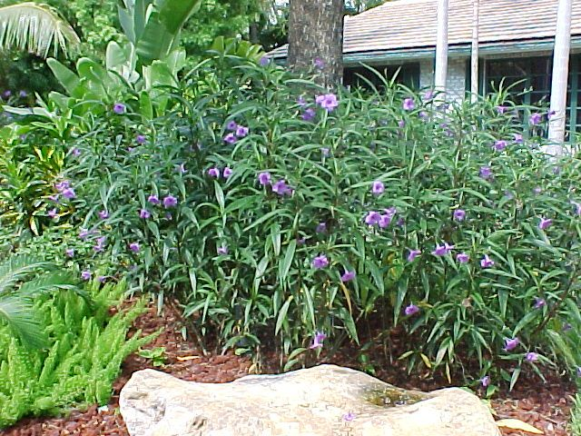 Mexican Petunia Be Careful As This Can Be Invasive Plants Shade Garden Perennial Plants