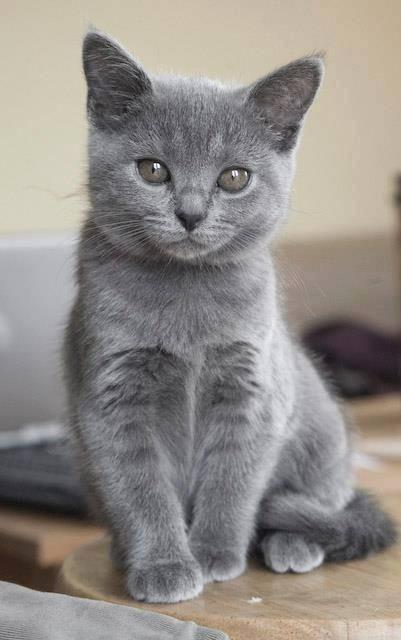 Russian Bule Kitten Sterling Noes Me Haz Noes Idea Hows