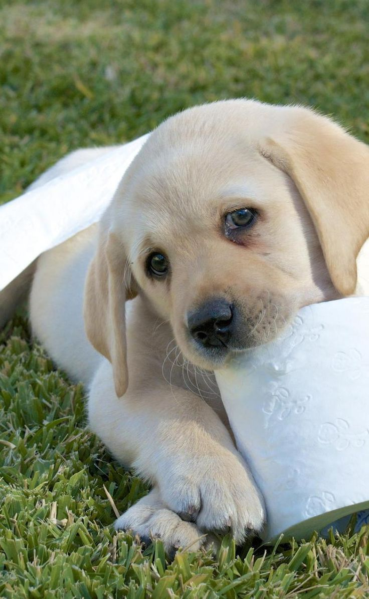 Andrex Puppy Cute Golden Lab Animals Dogs Awesome Images Andrex Puppy Cute Puppies Puppies