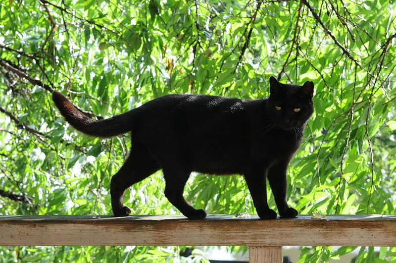 File:Black cat on a railing and green trees in summer-Hisashi-01.jpg This is a beautiful black cat. I do this because I enjoy black cats and they are not evil. A cat is a cat. We all need love and so do they. My thoughts. Incensewoman