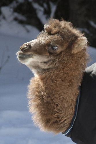 Baby Bactrian Camel in Snow 2-3-14 Part 2 (7 of 7)