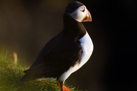 Atlantic Puffin Photo by Alessio Mesiano — National Geographic Your Shot