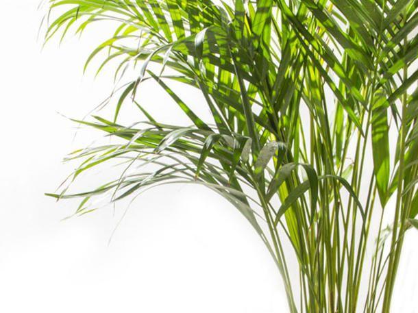 Diese Pflanzen helfen dir dabei, besser zu schlafen: Goldfruchtpalme