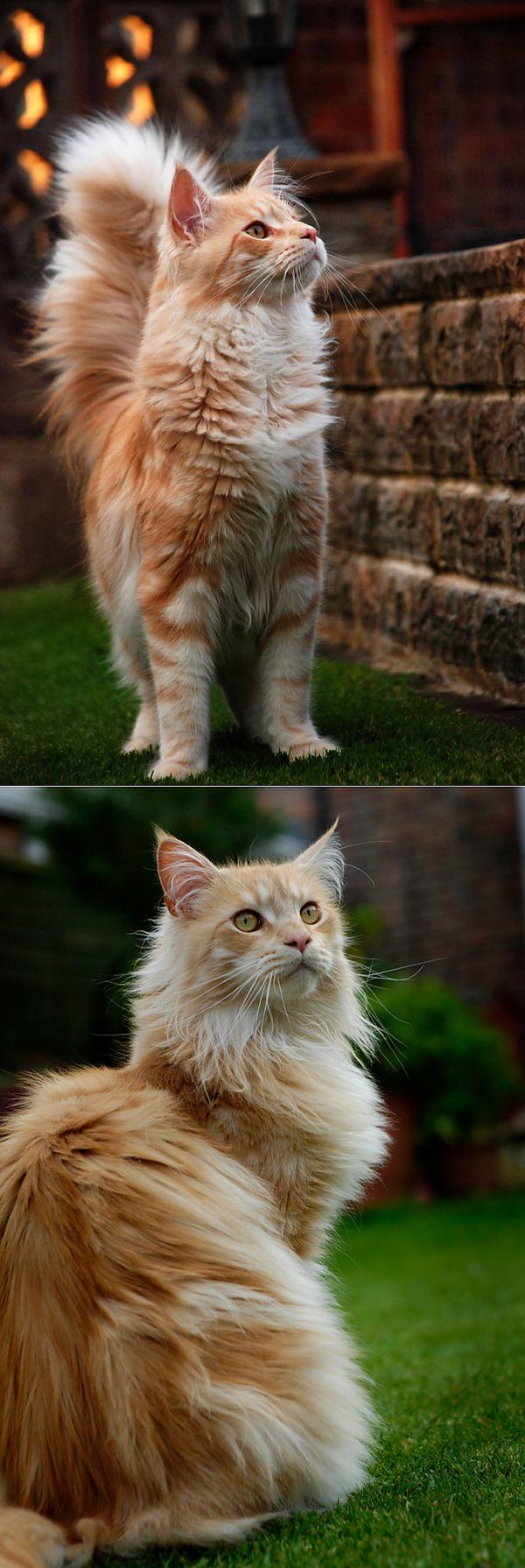 ФОТО ЗВЕРЬ   Мейн кун, Кошки и котята, Милые котики