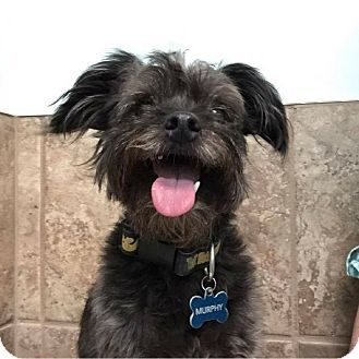 Fayetteville Ar Poodle Miniature Yorkie Yorkshire Terrier Mix Meet Murphy A Dog For Adoption Http Www Adoptapet Dogs Pets Yorkshire Terrier Puppies