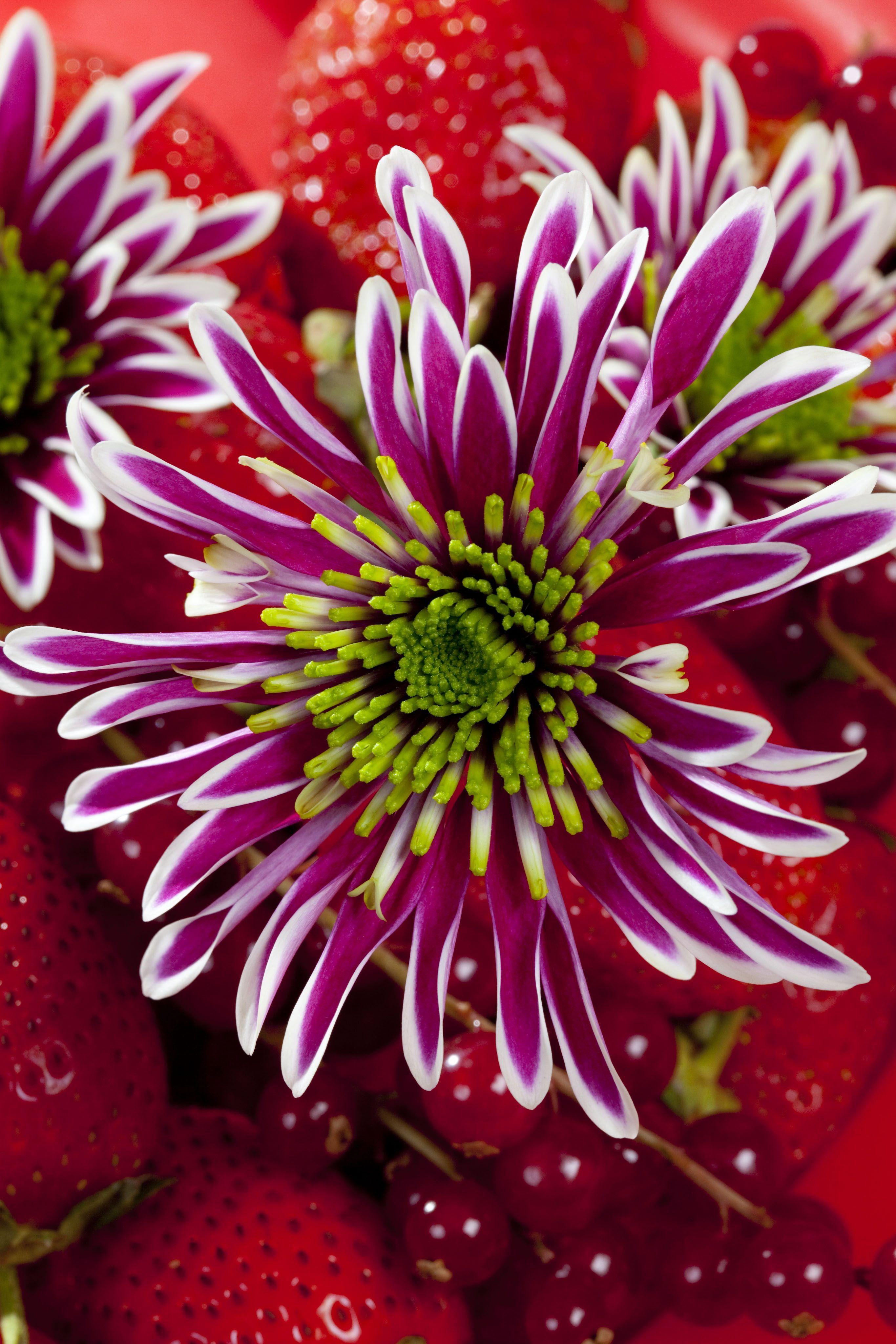 Chrysanthemum Zanmusaba Royal Van Zanten Chrysanthemum Flowers Photography Flowers Nature