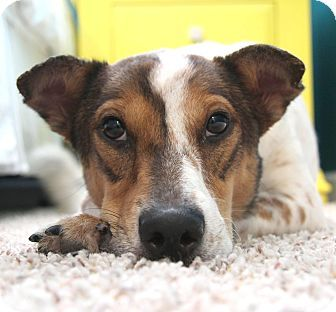 Puppy Adoptions Orlando Fl Corgi Brittany Mix Meet Flip Flop A Dog For Adoption Kitten Adoption Puppy Adoption Dog Adoption