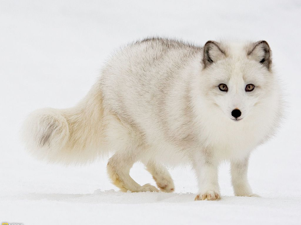 white fox pictures white fox in snow wallpaper pictures