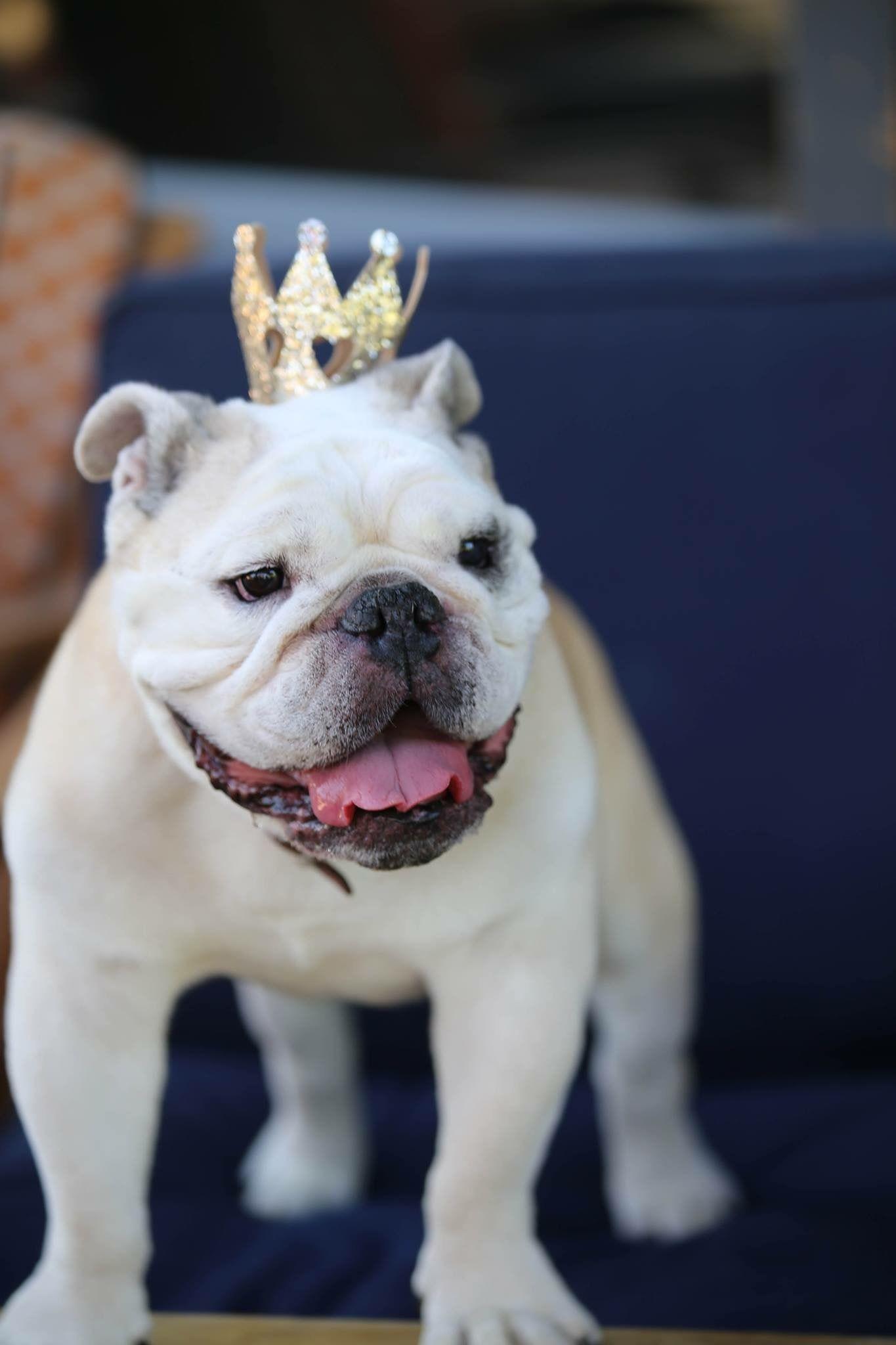 English Bulldog Bulldog funny, Cute bulldogs, English