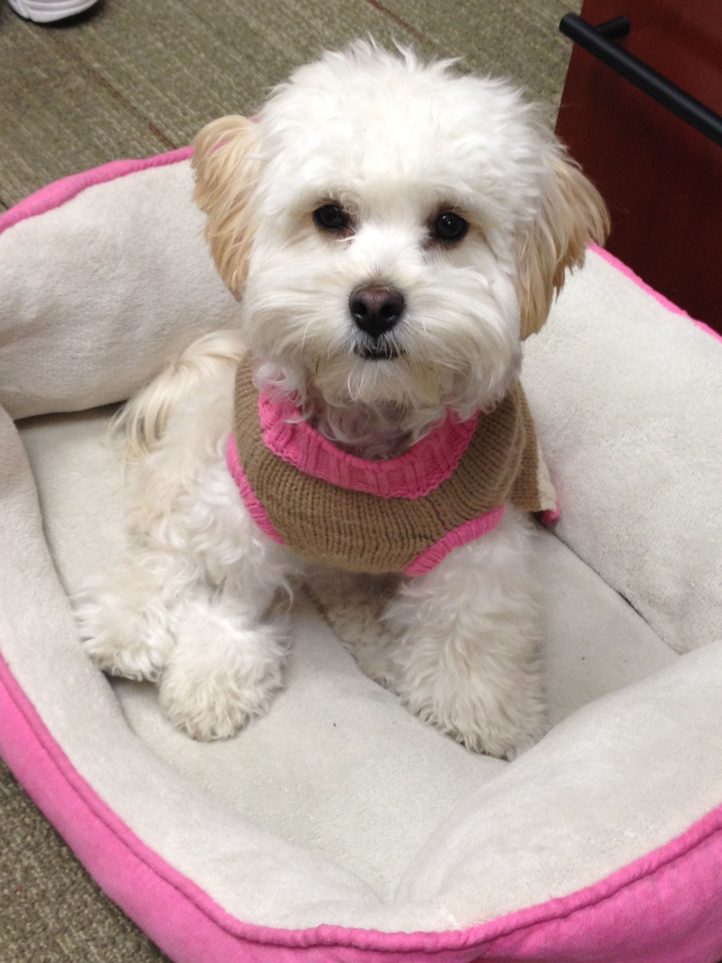 First Haircut With Images Poodle Dog Grooming