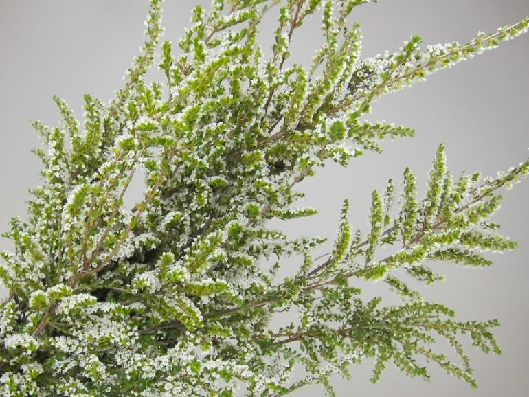 White Heather White Perfection Winter Heather Blooms White From December To April With Yellow Tipped New Growth On Da Plants Northwest Flowers Flower Spike