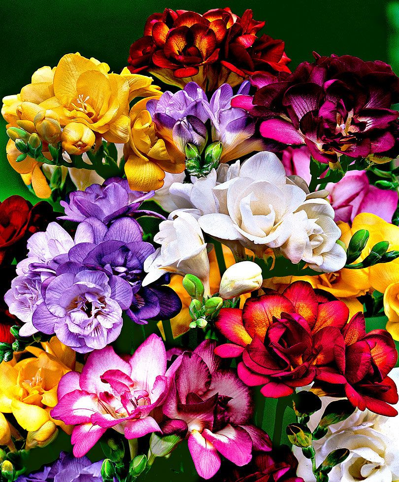 Double Freesia Mix Bakker Com Freesia Flowers Summer Flowering Bulbs Beautiful Flowers