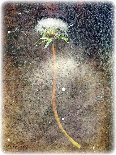dandelion   by Carolyn Saxby   Love Stitching Red