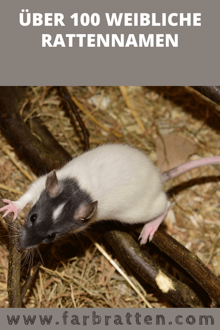 Rattennamen Weiblich Uber 100 Tolle Ideen Fur Deine Ratte Farbratten Ratte Haustier Haustiere