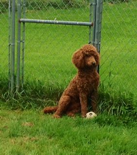 Planned Litters Goldendoodles Of Maine Ready The First Of May