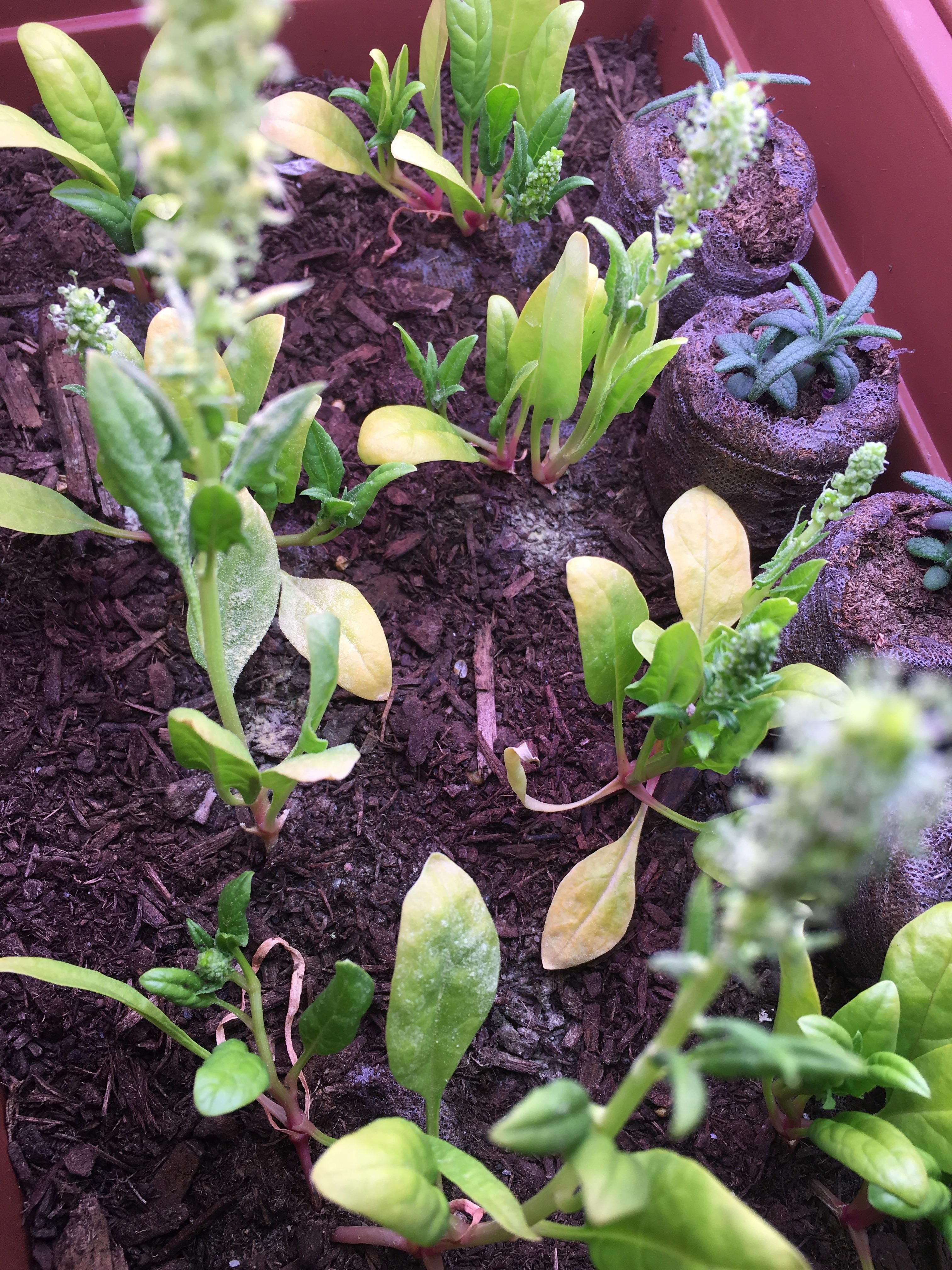 New To Gardening Help My Indoor Spinach Has White Stuff All Over It Are These Molds Or Some Kind Of Fungus Does That Mean I Garden Help Horticulture Plants