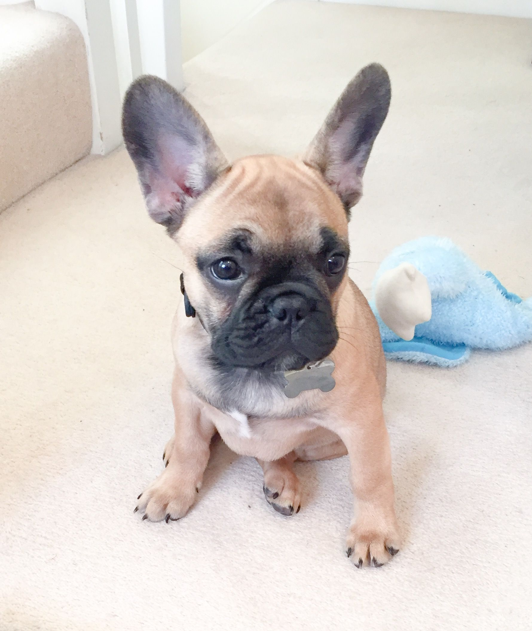 Gus, the French Bulldog Puppy