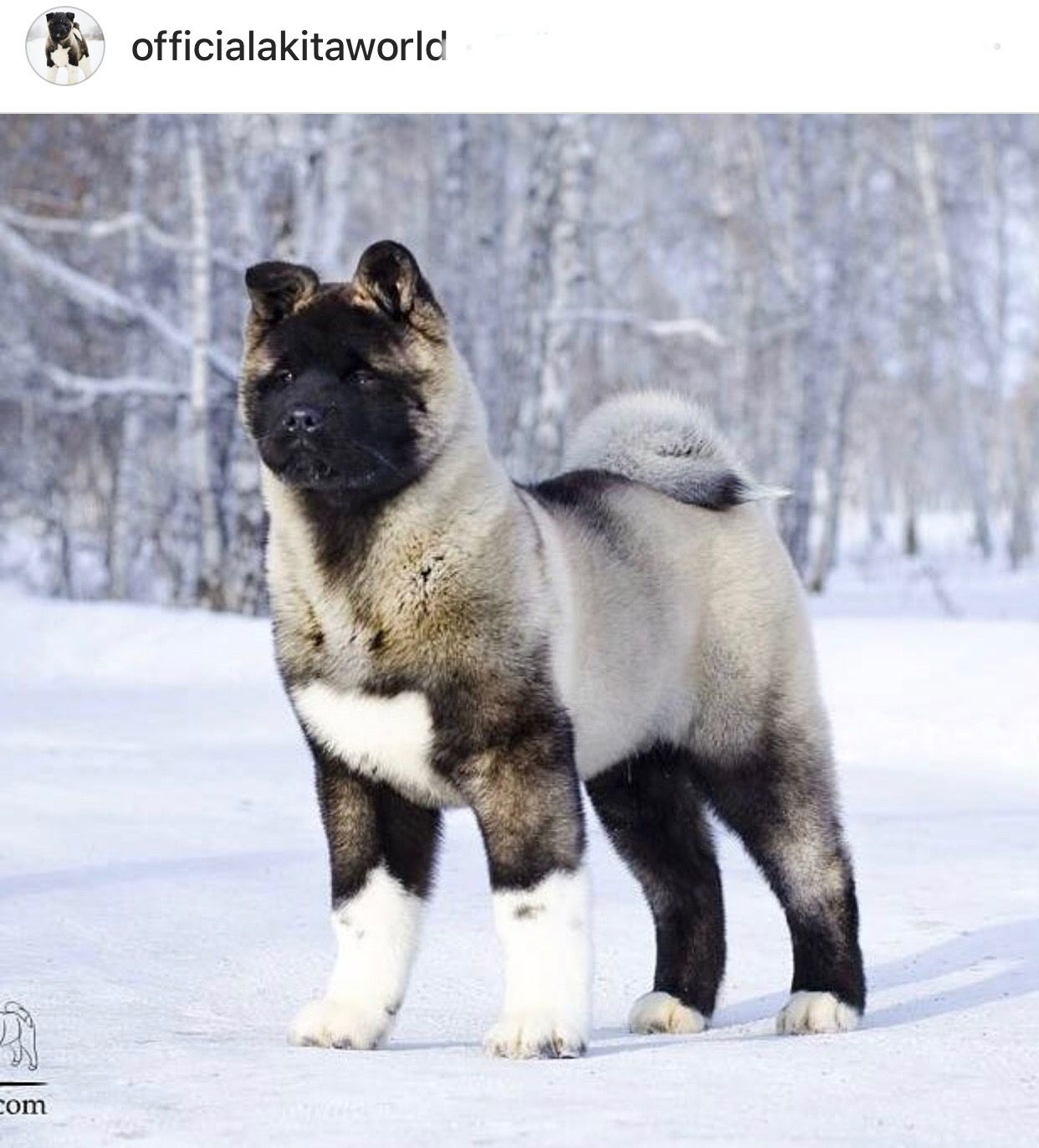 Pin By Steven Kuhlmann On Akita Beauties Cuties American Akita Dog Akita Puppies Akita Dog