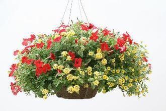 Tropical Saffron Proven Winners Proven Winners Container