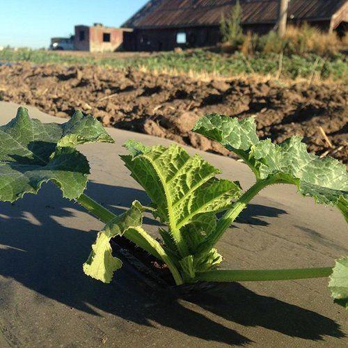 Dutch Hollow Farms Pumpkin Patch Modesto Ca Farm Plants