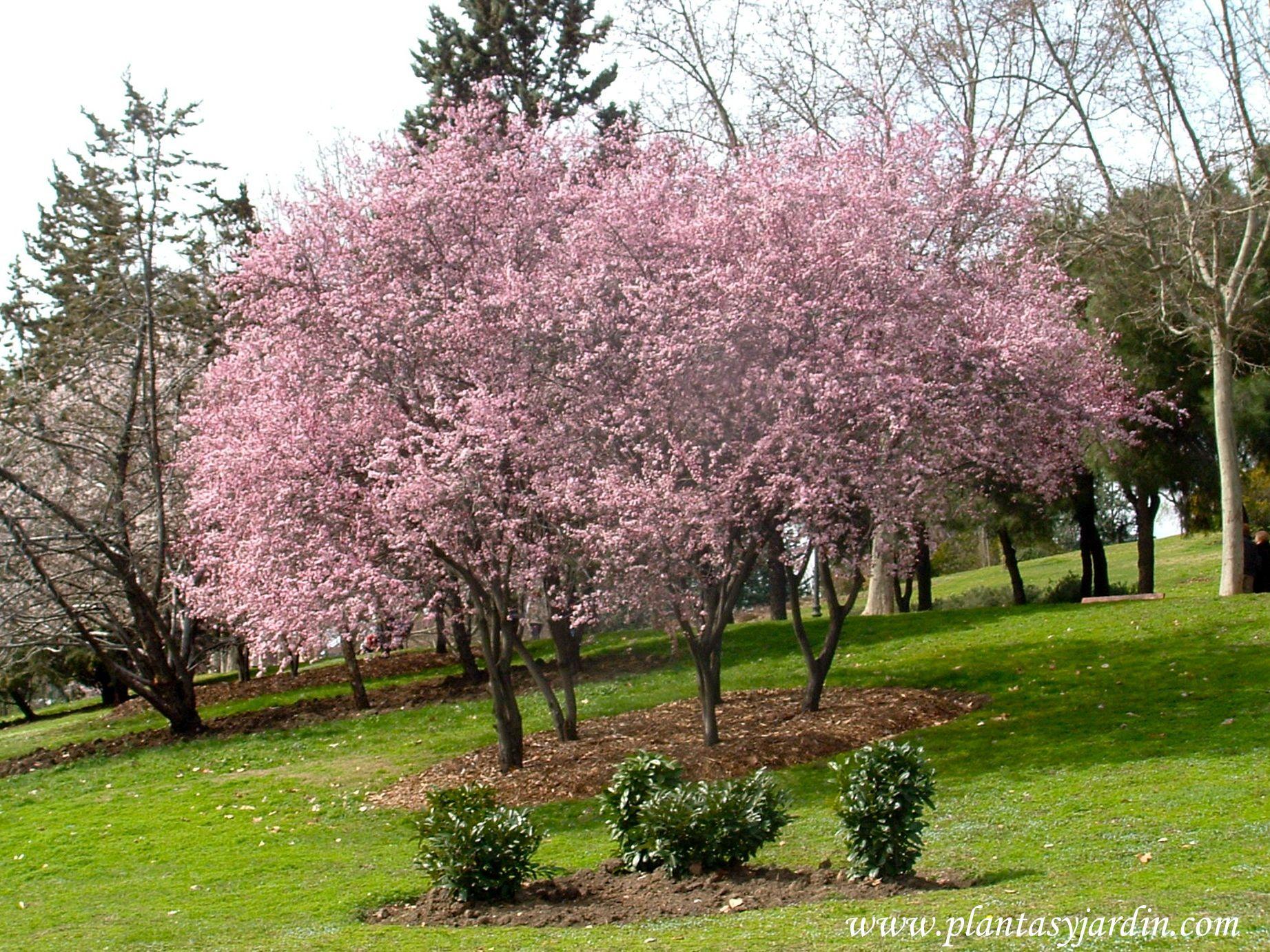 Prunus cerasifera el ciruelo japon s reci n florecido a for Arboles ornamentales jardin