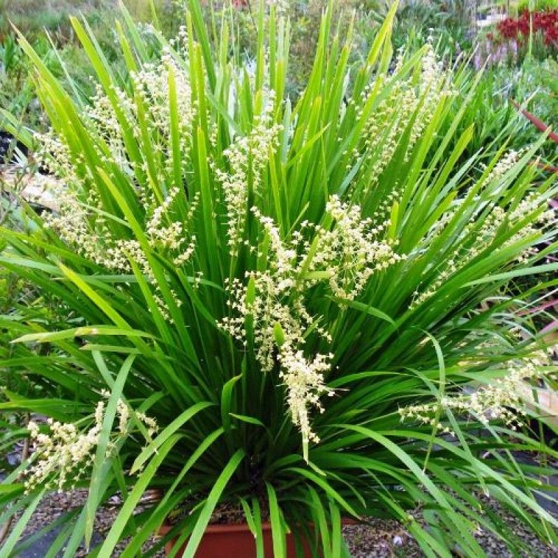 Lomandra hystrix 'Mat Rush' Better in wet soils and humid