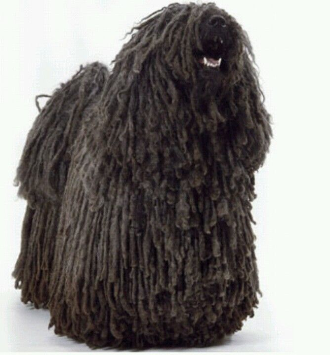 Puli Often Called A Rastafarian Dog This Breed Is Thought To