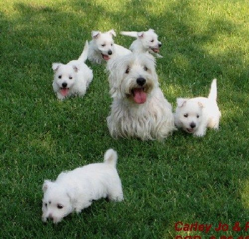 Pack of Westie Pups!