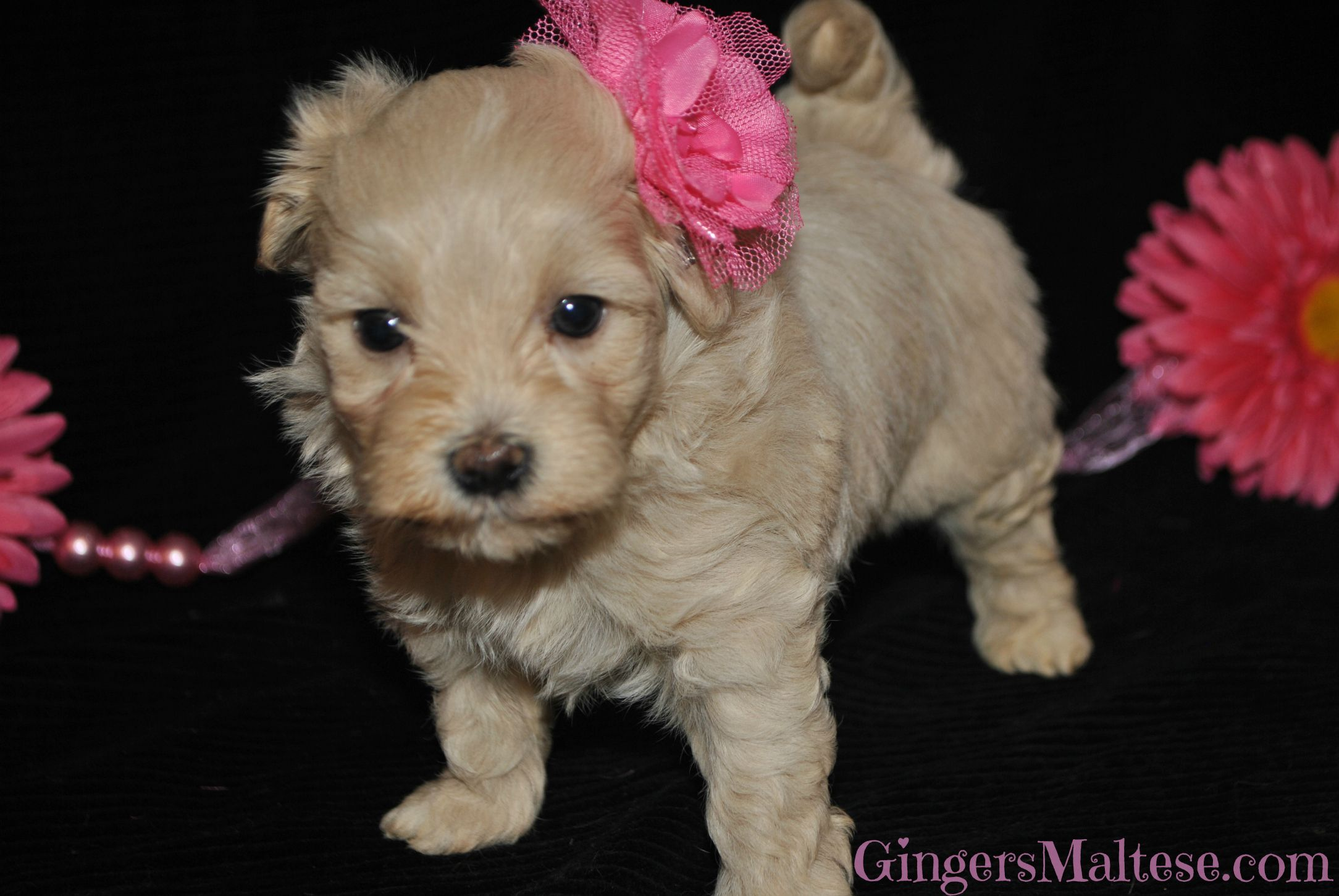 Maltipoo Puppies For Sale near Raleigh NC. Maltepoo Puppies for sale.
