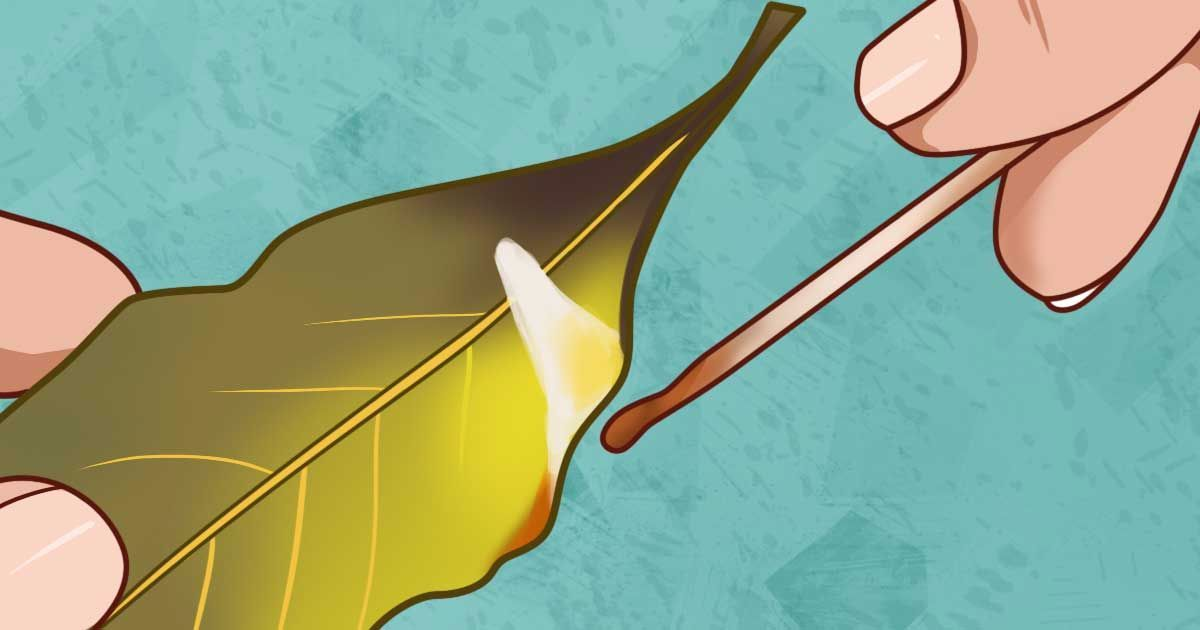 The incredible benefits and uses of bay leaves Most people have