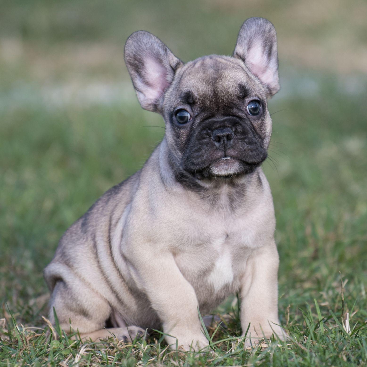 Friendly Frenchbulldog French Bulldog Puppies Puppies Pet Camera