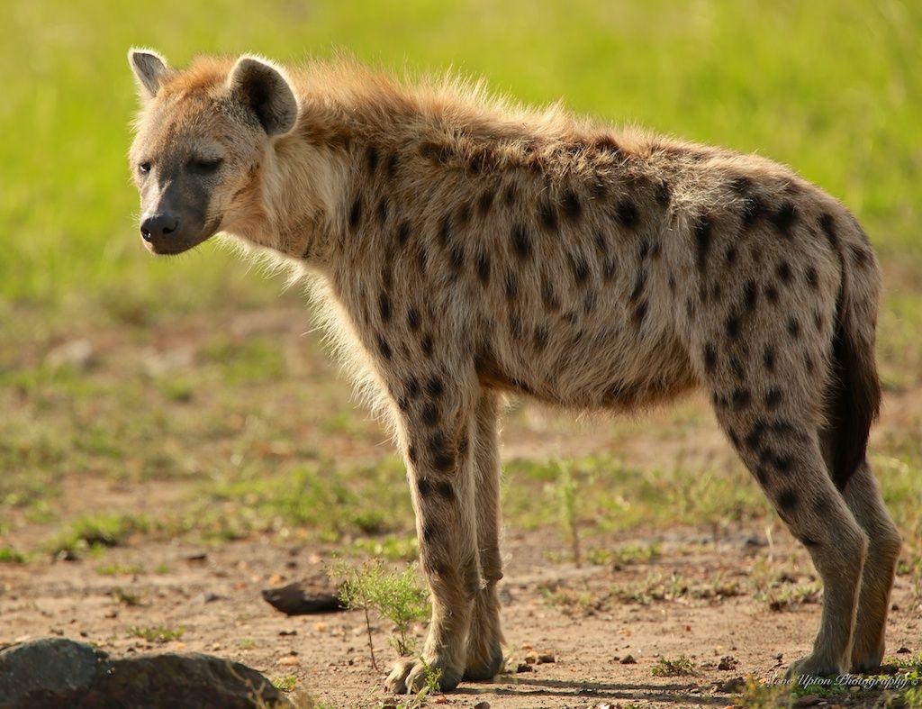 spotted hyena Google Search Hyena, Animals, Animals, pets
