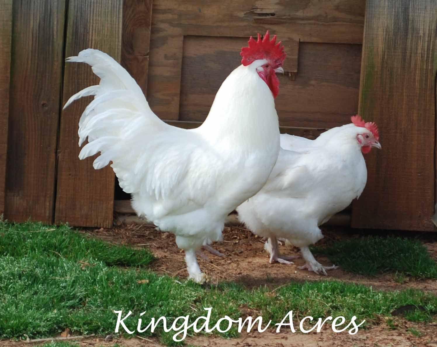 Chickens White Marans Chickens Chicken Art Hens