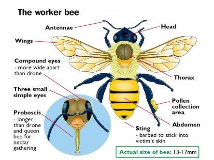 The Worker Bee   Bee keeping   Pinterest