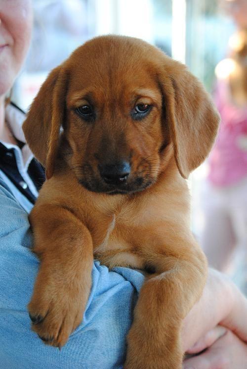 Adopt 9 Basset Corgi Mix Pups On Corgi Mix Pup Corgi