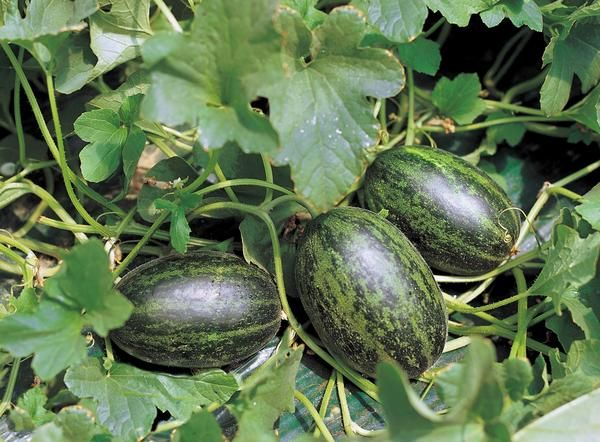 How To Grow Watermelons By Hanging Them Watermelon Plant How To Grow Watermelon Watermelon Vines
