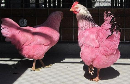 pink+chickens.PNG