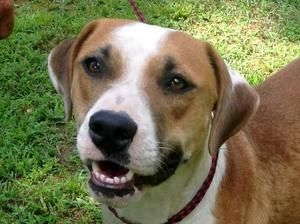Willow Is An Adoptable Boxer Dog In Stroudsburg Pa 6 30 13 Willow Is A Boxer Beagle Mix She Is A Gorgeous Girl With Boxer Beagle Mix Boxer Dogs Beagle Mix
