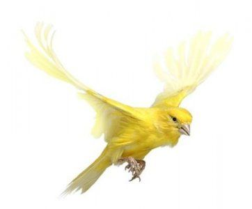 Canaries Pictures Animation Canary Picture Animation Canary Photo Animal Pictures Canary Birds Bird Yellow Bird