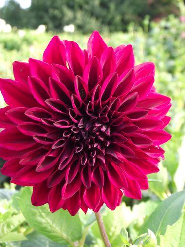 Ferncliff Gardens - Mission Shadow Dahlia