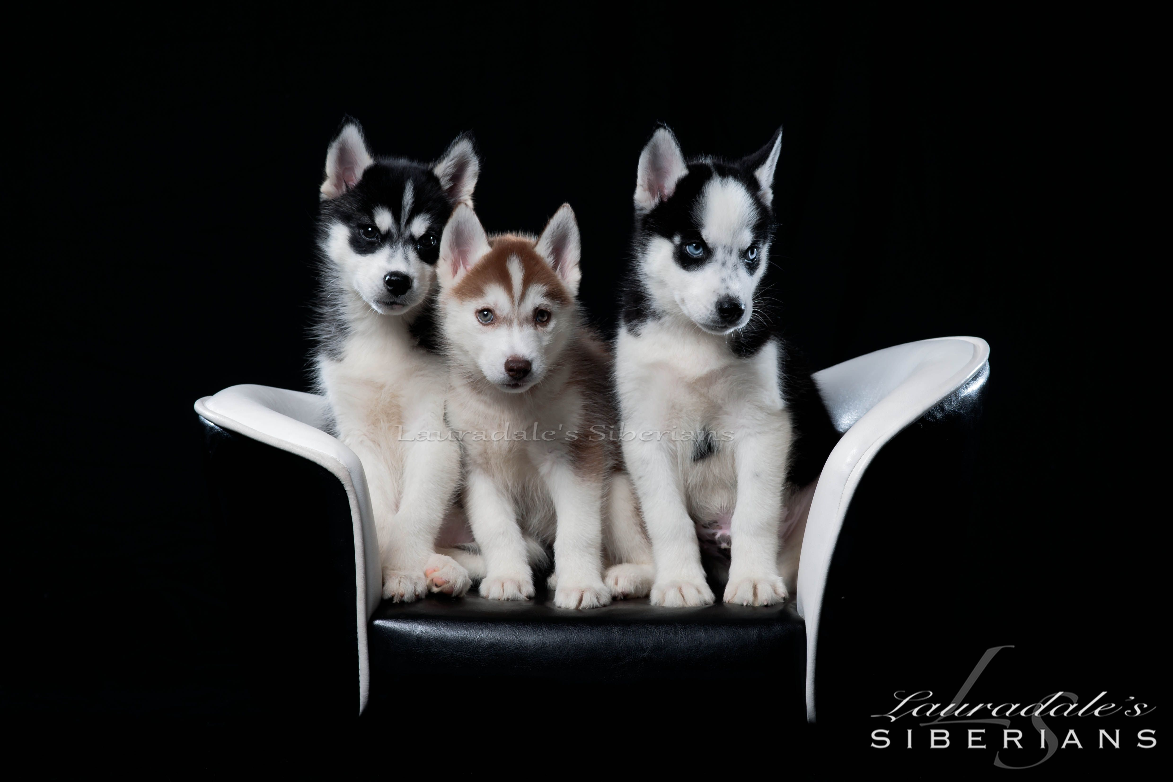 "Photo shoot with Glessner Photogrpahy of Windber, Pa. ""LIKE"" us on ... | Siberian Husky Puppies Adoption Michigan"