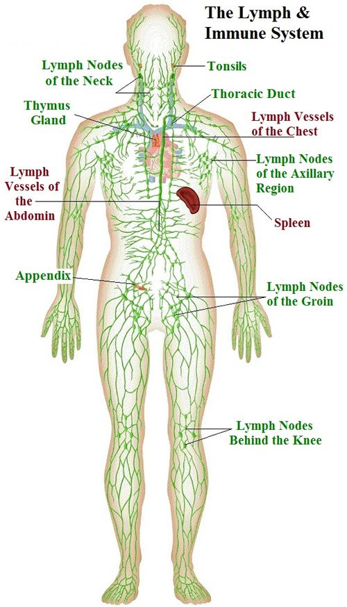 Diagram Of The Lymph Nodes Lymph Nodes In Body Diagram Human ...