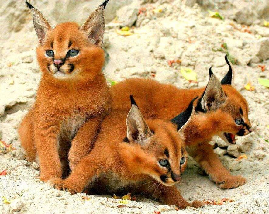 """""""These are Caracal kittens. They look amazing..."""" 
