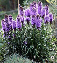 Blazing Star A Native Perennial With Spiky Purple Flowers Plants